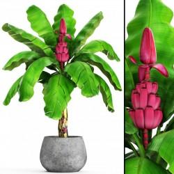 Musa Velutina Banana Seme - Otporna na Mraz 1.95 - 4