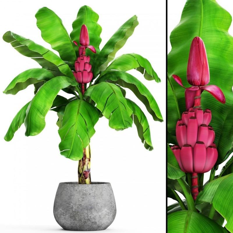 Σπόροι Musa Velutina η ρόζ μπανάνα 1.95 - 4