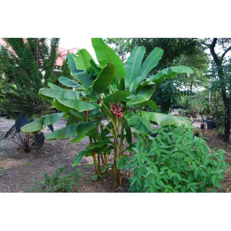 Σπόροι Musa Velutina η ρόζ μπανάνα 1.95 - 2