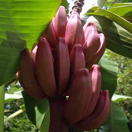 Σπόροι Musa Velutina η ρόζ μπανάνα 1.95 - 3