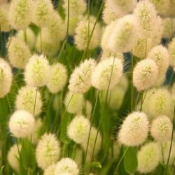 Samtgras, Hasenschwanz-Gras Samen (Lagurus ovatus) 1.65 - 1