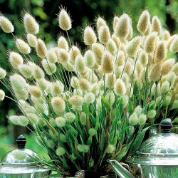 Зайцехво́ст семена (Lagurus ovatus) 1.65 - 6