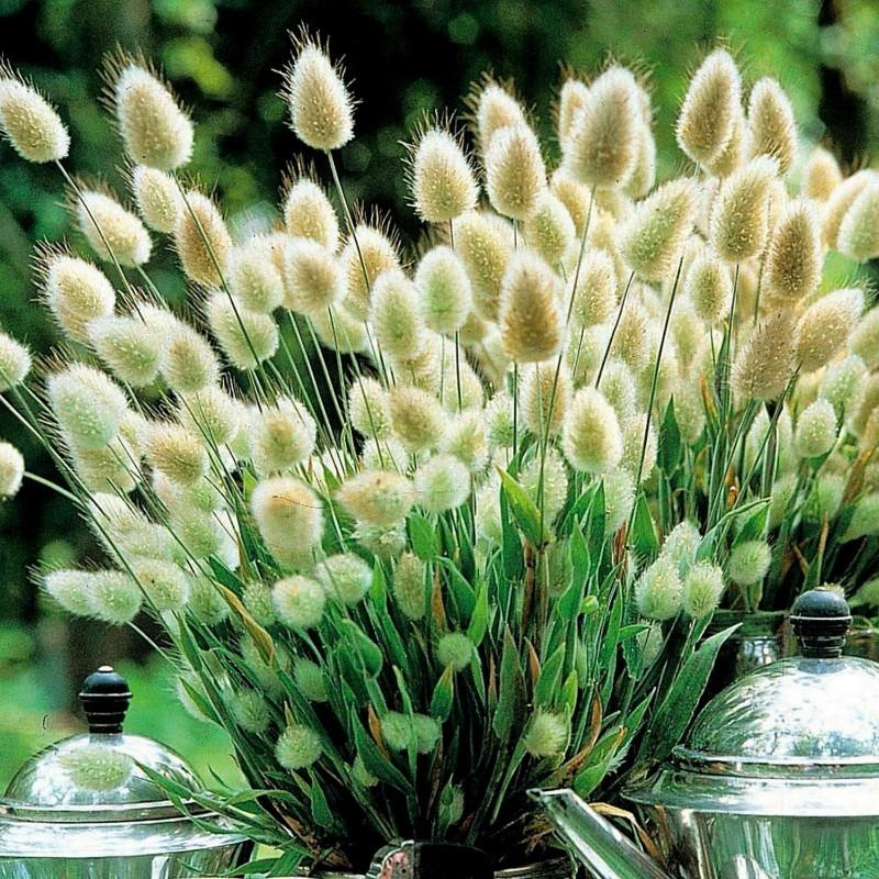 Samtgras, Hasenschwanz-Gras Samen (Lagurus ovatus) 1.65 - 6