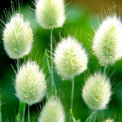Samtgras, Hasenschwanz-Gras Samen (Lagurus ovatus) 1.65 - 2
