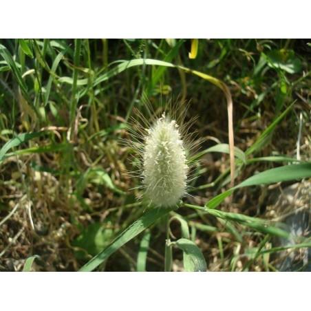 Samtgras, Hasenschwanz-Gras Samen (Lagurus ovatus) 1.65 - 3
