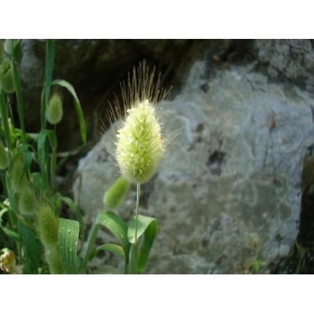 Samtgras, Hasenschwanz-Gras Samen (Lagurus ovatus) 1.65 - 4