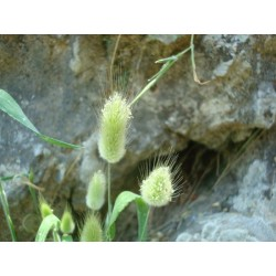 Graines de lagure ovale, queue-de-lièvre 1.65 - 5
