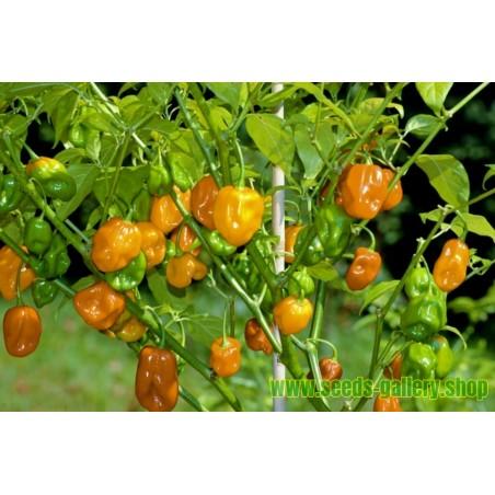 Semillas de Alcaravea Alcarahueya