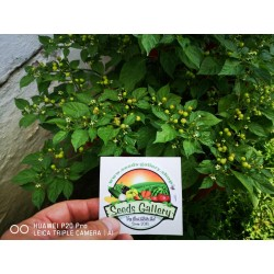 Charapita Chili Frön 2.25 - 9
