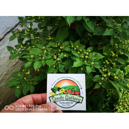 Charapita Chili - Cili Seme 2.25 - 9