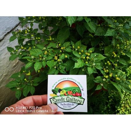 Charapita Chili Samen 2.25 - 9