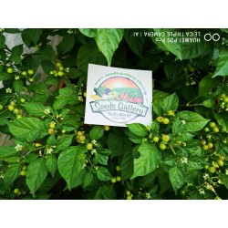 Charapita Chili Samen 2.25 - 10
