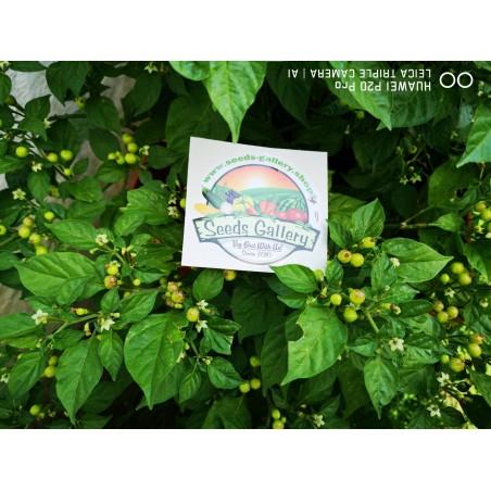 Charapita Chili - Cili Seme 2.25 - 10