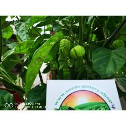Σπόροι Τσίλι πιπέρι Carolina Reaper κόκκινο και κίτρινο 2.45 - 16