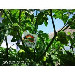 Sementes da Pimenta Carolina Reaper vermelho e amarelo 2.45 - 18