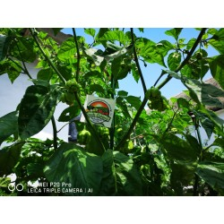Semillas de Pimiento Carolina Reaper rojo y amarillo 2.45 - 19