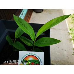 Blue Ginger Or Thai Ginger Seeds (Alpinia galanga) 1.95 - 9
