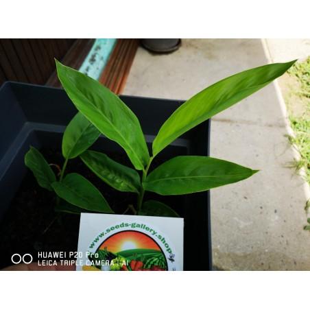 Thai-Ingwer, großer Galgant Samen (Alpinia galanga) 1.95 - 9