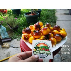 Wagner Blue Yellow Tomato Seeds 2.25 - 3