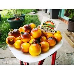 Wagner Plavo žuti paradajz seme 2.25 - 5