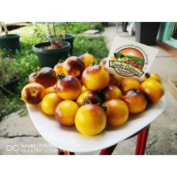 Wagner Plavo žuti paradajz seme 2.25 - 6