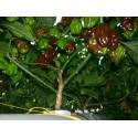 Habanero Orange - Red - Chocolate Chili Seme