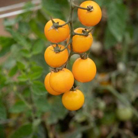 GOLD NUGGET Tomato Yellow Cherry Seeds 1.85 - 2