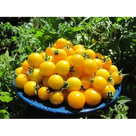 GOLD NUGGET Cherrytomaten Samen 1.85 - 4