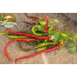 Sweet Chili Seeds PITON - PYTHON 1.65 - 3