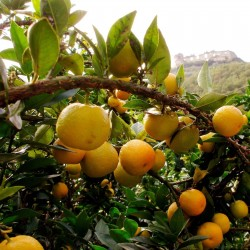 CHINOTTO - Myrtle Leaved Orange Tree Seeds 6 - 4