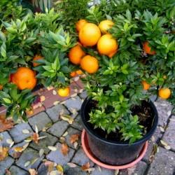 Semi di Arancione CHINOTTO (citrus myrtifolia) 6 - 5