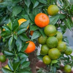 Κιτρέα η μυρτόφυλλος σπόρος (Citrus myrtifolia) 6 - 6