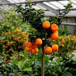 CHINOTTO - Myrtle Leaved Orange Tree Seeds 6 - 9