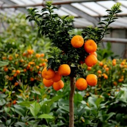 CHINOTTO Orange Frön (citrus myrtifolia) 6 - 9