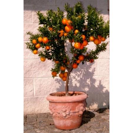 Sementes de CHINOTTO (Citrus myrtifolia) 6 - 7