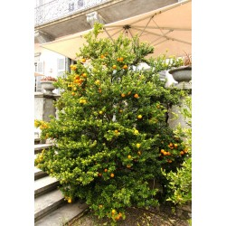 CHINOTTO - Myrtle Leaved Orange Tree Seeds 6 - 8