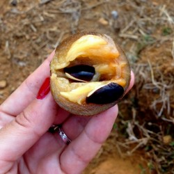Manilkara zapota Seeds (Chico Sapote) 2.85 - 5