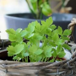Mitsuba Japanese Parsley Seeds (Cryptotaenia Japonica) 1.35 - 1