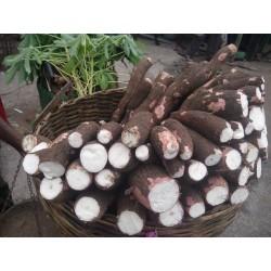 Tapioka Seme (Manihot esculenta) 3 - 3