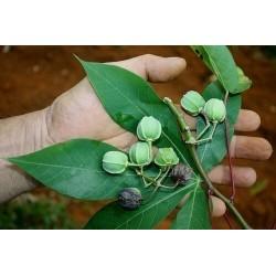 Tapioka Seme (Manihot esculenta) 3 - 5