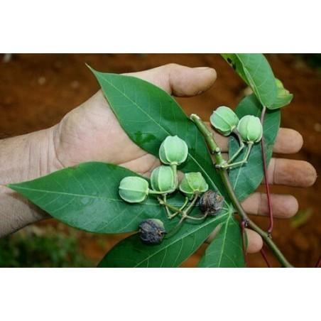 Maniok Frön (Manihot esculenta) 3 - 5