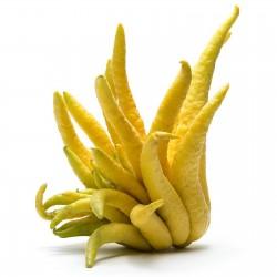 Semillas de Mano de Buda (Citrus medica var. sarcodactylis) 0 - 7