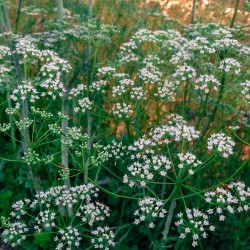 Anis Samen Heil und Gewürzpflanze 2.25 - 1