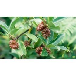 Echte Sternanis Samen (Illicium verum) 3.5 - 2