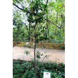 Echte Sternanis Samen (Illicium verum) 3.5 - 3