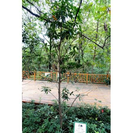 Zvezdasti anis seme (llicium verum) 3.5 - 3
