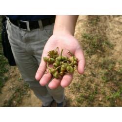 Echte Sternanis Samen (Illicium verum) 3.5 - 4