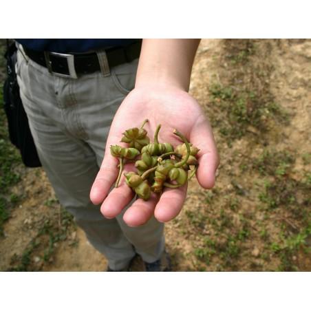 Star Anise Seeds (Illicium verum) 3.5 - 4