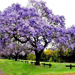 500 Samen Kaiserbaum (Paulownia Tomentosa) 9 - 5
