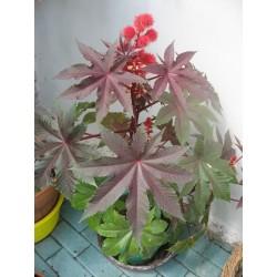 Graines Ricin Rouge (Ricinus communis) 1.85 - 5